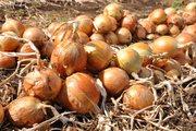 Семена высокоурожайного голландского  лука
