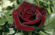 саженци роз