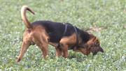 Щенки от собаки  помесь - шарпей с собакой-ищейкой